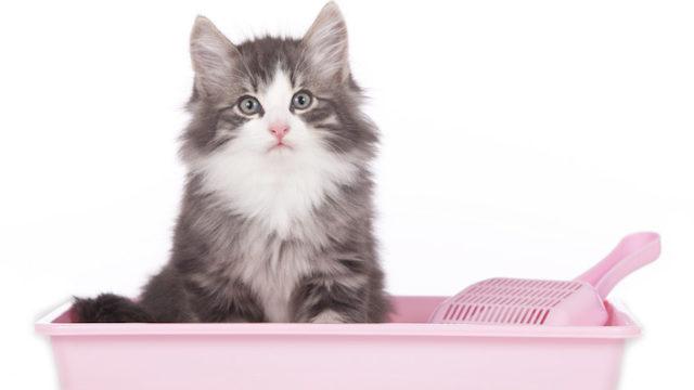 【失敗談あり】子猫のトイレトレーニング|いつから覚えさせる? トイレでしてくれないときは? 設置場所は? トイレの個数は? 病気の可能性?