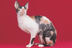 【猫図鑑】コーニッシュレックスの性格・飼い方・毛色・値段・寿命など特徴を徹底解説!