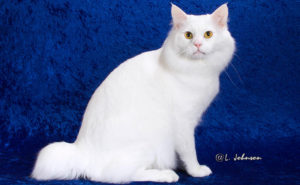 【猫図鑑】アメリカンボブテイルの性格・飼い方・毛色・値段・寿命など特徴を徹底解説!