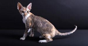 【猫図鑑】デボンレックスの性格・飼い方・毛色・値段・寿命など特徴を徹底解説!