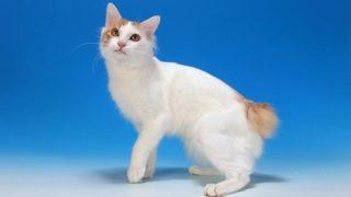 【猫図鑑】ジャパニーズボブテイルはどんな性格の猫?特徴・寿命・値段は?
