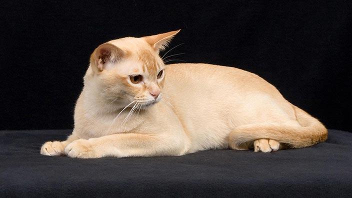 ヨーロピアンバーミーズはどんな性格の猫?特徴・寿命・値段は?