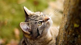 【猫図鑑】アメリカンワイヤーヘアーの性格・飼い方・毛色・値段・寿命など特徴を徹底解説!