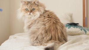 【猫図鑑】ペルシャの性格・飼い方・毛色・値段・寿命など特徴を徹底解説!