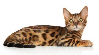 ベンガルはどんな性格の猫?特徴・寿命・値段は?
