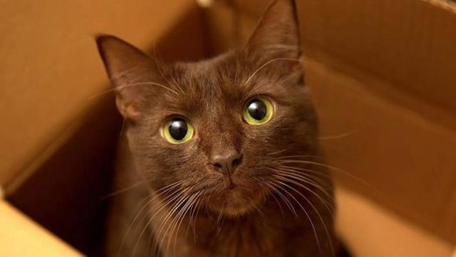 ハバナブラウンはどんな性格の猫?特徴・寿命・値段は?