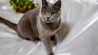 シャルトリューはどんな性格の猫?特徴・寿命・値段は?