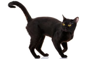 ボンベイはどんな性格の猫?特徴・寿命・値段は?