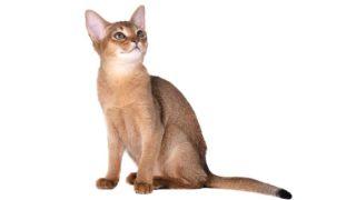 アビシニアンはどんな性格の猫?特徴・寿命・値段は?