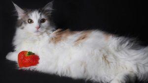 ノルウェージャンフォレストキャットはどんな性格の猫?特徴・寿命・値段は?