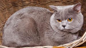 【猫図鑑】ブリティッシュショートヘアはどんな性格の猫?特徴・寿命・値段は?