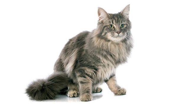 メインクーンはどんな性格の猫?特徴・寿命・値段は?
