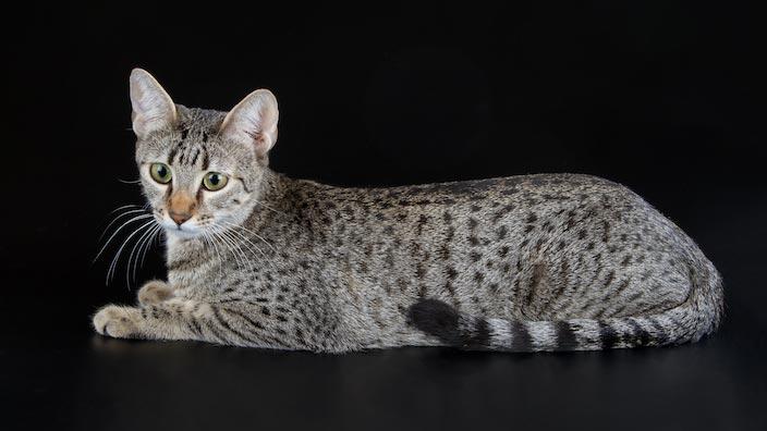 エジプシャンマウはどんな性格の猫?特徴・寿命・値段は?