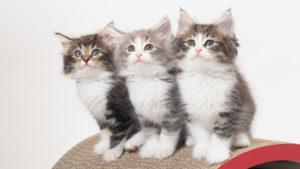 【写真43枚】世界の猫図鑑(43種類)|性格・寿命・価格・特徴・原産国・毛種・カラー【五十音順】