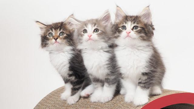 【写真43枚】世界の猫43種類|性格・寿命・価格・特徴・原産国・毛種・カラー【猫図鑑】