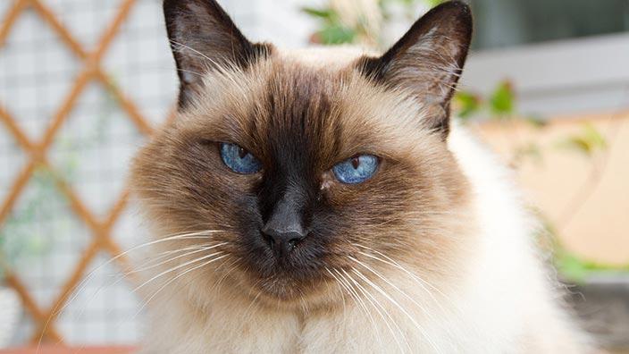 バーマンはどんな性格の猫?特徴・寿命・値段は?