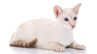 カラーポイントショートヘアはどんな性格の猫?特徴・寿命・値段は?