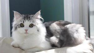 ラガマフィンはどんな性格の猫?特徴・寿命・値段は?