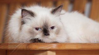 ヒマラヤンはどんな性格の猫?特徴・寿命・値段は?