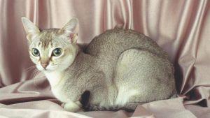 シンガプーラはどんな性格の猫?特徴・寿命・値段は?