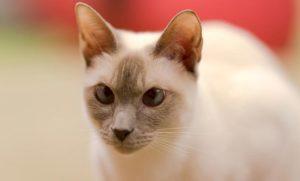 トンキニーズはどんな性格の猫?特徴・寿命・値段は?