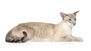 【猫図鑑】オリエンタルの性格・飼い方・毛色・値段・寿命など特徴を徹底解説!