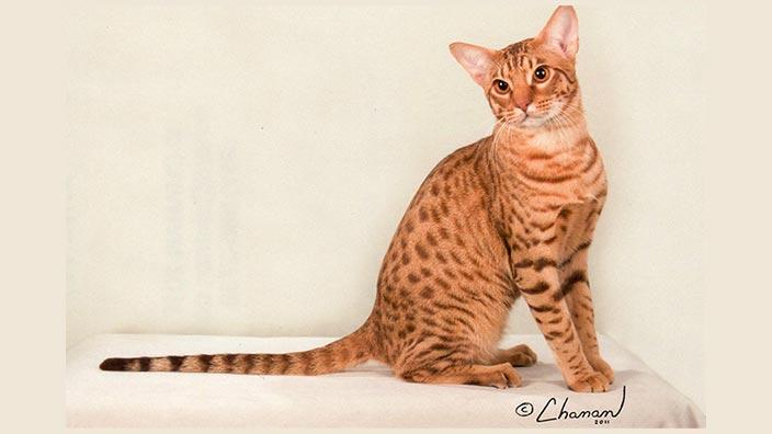 オシキャットはどんな性格の猫?特徴・寿命・値段は?