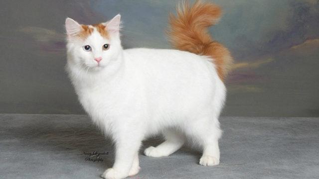 【猫図鑑】ターキッシュバンの性格・飼い方・毛色・値段・寿命など特徴を徹底解説!