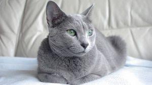 ロシアンブルーはどんな性格の猫?特徴・寿命・値段は?
