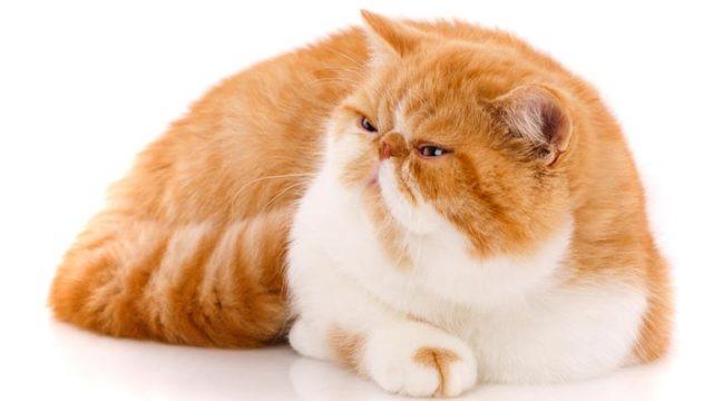 エキゾチックショートヘア/ロングヘアはどんな性格の猫?特徴・寿命・値段は?