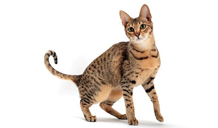【猫図鑑】サバンナの性格・飼い方・毛色・値段・寿命など特徴を徹底解説!
