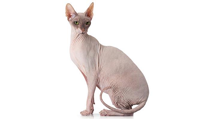 スフィンクスはどんな性格の猫?特徴・寿命・値段は?