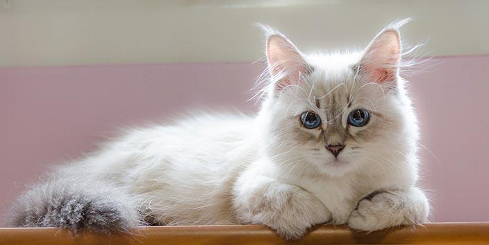 サイベリアンはどんな性格の猫?特徴・寿命・値段は?