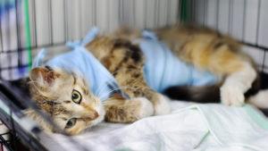 メス猫の避妊手術のしおり|費用・時期・方法・メリット・デメリット・発情鳴きは終わる?