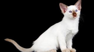 【猫図鑑】バリニーズの性格・飼い方・毛色・値段・寿命など特徴を徹底解説!