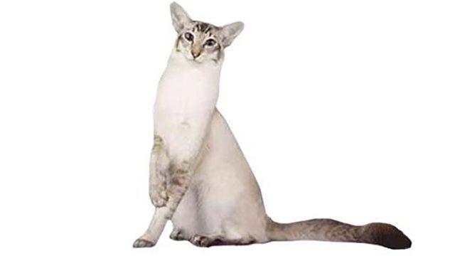 ジャバニーズはどんな性格の猫?特徴・寿命・値段は?