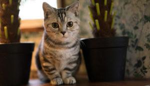 マンチカンはどんな性格の猫?特徴・寿命・値段は?