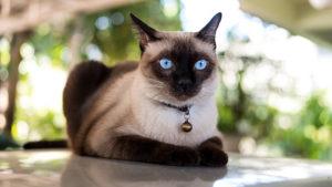 【猫図鑑】シャム(サイアミーズ)の性格・飼い方・毛色・値段・寿命など特徴を徹底解説!