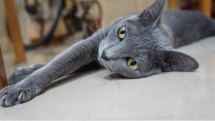 【猫図鑑】コラットの性格・飼い方・毛色・値段・寿命など特徴を徹底解説!