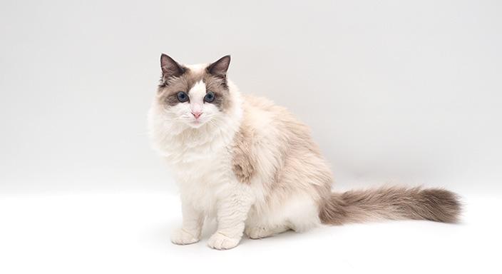 ラグドールはどんな性格の猫?特徴・寿命・値段は?