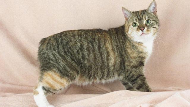 【猫図鑑】マンクスの性格・飼い方・毛色・値段・寿命など特徴を徹底解説!