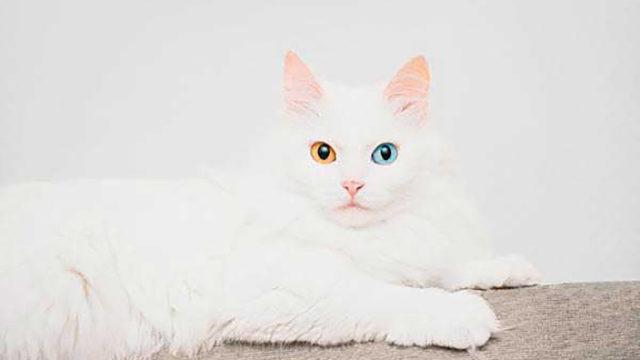 【猫図鑑】ターキッシュアンゴラの性格・飼い方・毛色・値段・寿命など特徴を徹底解説!