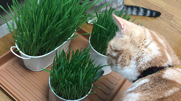 猫草おすすめ10選_猫草の種類