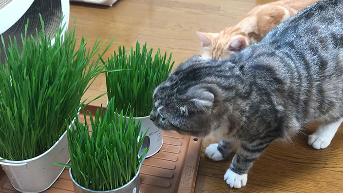 猫草おすすめ10選_猫草は必要?