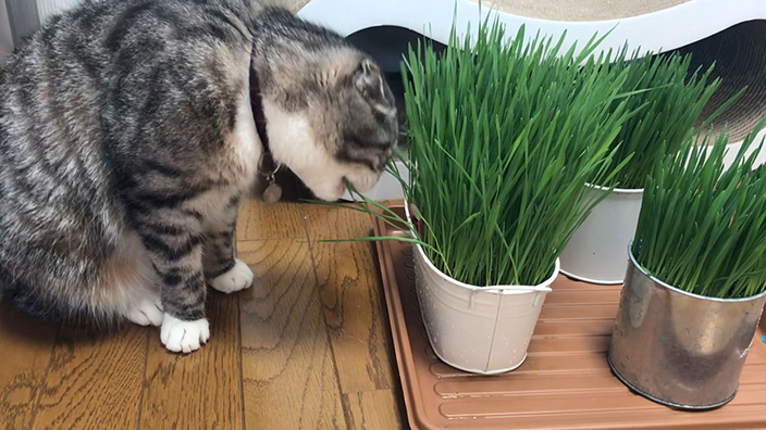 グリーンラボ_猫草の栽培まとめ