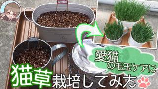 【愛猫家が解説】猫草の育て方|これを読めば簡単に育てられます【動画あり】