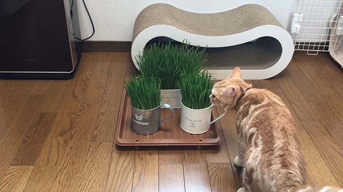 グリーンラボ_猫草の栽培まとめ2