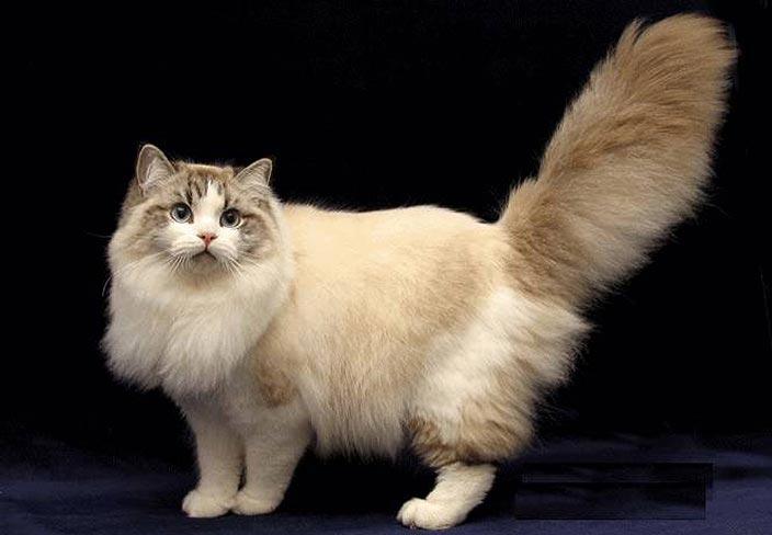 【猫図鑑】ラガマフィンはどんな性格の猫?特徴・寿命・値段は?_ラガマフィンの特徴5選