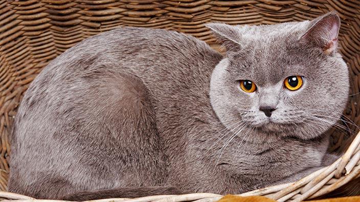 猫図鑑_ブリティッシュショートヘアの特徴3選
