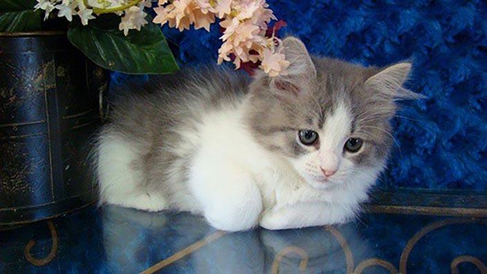 【猫図鑑】ラガマフィンはどんな性格の猫?特徴・寿命・値段は?_ラガマフィンと幸せな暮らしを送るために